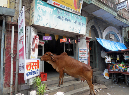 Cow on steps of ice cream shop in India